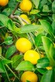 Frutta arancio del mandarino in albero Immagini Stock Libere da Diritti
