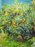 Frutta arancio del mandarino in albero Fotografie Stock Libere da Diritti