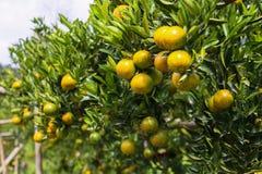 Frutta arancio fresca in frutteto, frutta pulita o fondo popolare della frutta, frutta del mercato dal frutteto di agricoltura Fotografia Stock
