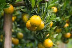 Frutta arancio fresca in frutteto, frutta pulita o fondo popolare della frutta, frutta del mercato dal frutteto di agricoltura Fotografie Stock Libere da Diritti