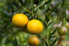 Frutta arancio fresca in frutteto, frutta pulita o fondo popolare della frutta, frutta del mercato dal frutteto di agricoltura Immagine Stock