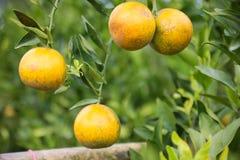 Frutta arancio fresca in frutteto, frutta pulita o fondo popolare della frutta, frutta del mercato dal frutteto di agricoltura Fotografie Stock