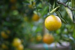 Frutta arancio fresca in frutteto, frutta pulita o fondo popolare della frutta, frutta del mercato dal frutteto di agricoltura Fotografia Stock Libera da Diritti