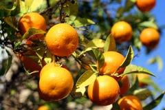 Frutta arancione Fotografie Stock Libere da Diritti