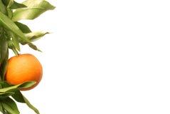 Frutta arancione sulla filiale Fotografia Stock