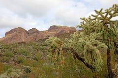Frutta a catena Cholla, saguaro ed altri cactus in monumento nazionale del cactus della canna d'organo, Arizona, U.S.A. immagine stock