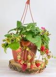 Frutta conservata in vaso della fragola coltivata a casa fotografie stock libere da diritti