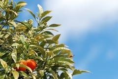 Frutta corsa della clementina Immagine Stock