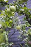 Frutta crescente nella bottiglia Fotografia Stock