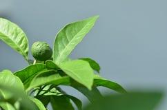 Frutta cruda del mandarino fra le foglie verdi Fotografia Stock
