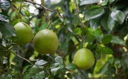 Frutta cruda del pomelo sull'albero nel giardino Fotografia Stock Libera da Diritti