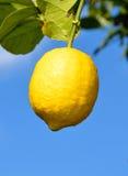 Frutta d'attaccatura del limone fotografia stock