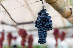 Frutta d'attaccatura piacevole dell'uva Fotografia Stock