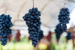 Frutta d'attaccatura piacevole dell'uva Immagine Stock Libera da Diritti