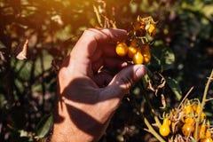 Frutta d'esame del pomodoro ciliegia dell'agricoltore coltivata in giardino organico Immagine Stock Libera da Diritti