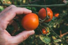 Frutta d'esame del pomodoro dell'agricoltore coltivata in giardino organico Immagini Stock