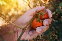 Frutta d'esame del pomodoro dell'agricoltore coltivata in giardino organico Fotografie Stock Libere da Diritti