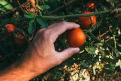 Frutta d'esame del pomodoro dell'agricoltore coltivata in giardino organico Fotografia Stock