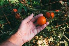 Frutta d'esame del pomodoro dell'agricoltore coltivata in giardino organico Fotografie Stock