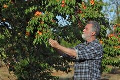Frutta d'esame dell'albicocca dell'agricoltore in frutteto Fotografia Stock