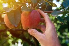 Frutta d'esame della mela dell'agricoltore coltivata in giardino organico Immagine Stock