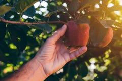 Frutta d'esame della mela dell'agricoltore coltivata in giardino organico Fotografia Stock