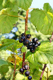 Frutta dei ribes neri Fotografia Stock Libera da Diritti