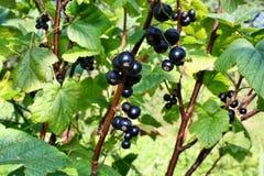 Frutta dei ribes neri Fotografie Stock