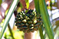 Frutta dei utilis comuni del Pandanus dell'albero di Screwpine Fotografia Stock
