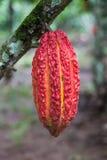 Frutta del cacao Fotografia Stock Libera da Diritti
