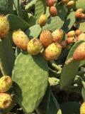 Frutta del cactus Immagine Stock