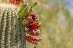 Frutta del cactus del saguaro dal lato Immagine Stock Libera da Diritti
