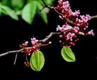 Frutta del cainito che appende con il fiore sopra il fondo nero Fotografie Stock