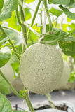 Frutta del cantalupo o del melone nella scuola materna della pianta Fotografia Stock