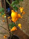 Frutta del capezzolo Fotografia Stock