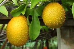 Frutta del cetriolo amaro della primavera Fotografia Stock