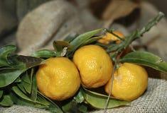 Frutta del chinotto Fotografia Stock