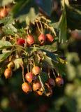 Frutta del cratego fotografie stock