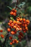 Frutta del cratego Fotografia Stock