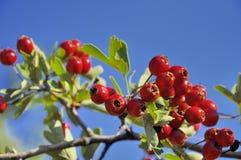 Frutta del cratego contro cielo blu Fotografia Stock