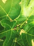 Frutta del cuscinetto Fotografie Stock Libere da Diritti