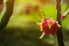 Frutta del drago in giardino Fotografie Stock Libere da Diritti