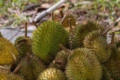 Frutta del Durian nell'azienda agricola di agricoltura Fotografia Stock