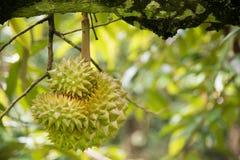 Frutta del Durian sull'albero nel giardino immagini stock libere da diritti