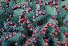 Frutta del fico d'India Fotografia Stock Libera da Diritti