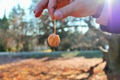 Frutta del ginkgo biloba Fotografie Stock