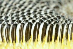 Frutta del girasole Immagini Stock