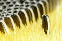 Frutta del girasole Fotografia Stock