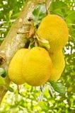 Frutta del Jack sull'albero in giardino Fotografie Stock Libere da Diritti