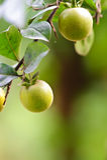 Frutta del kumquat Immagini Stock